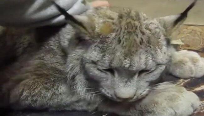 这是猫Plus吗,我想静静。和它一起手机信号一定好 猞猁,猫科