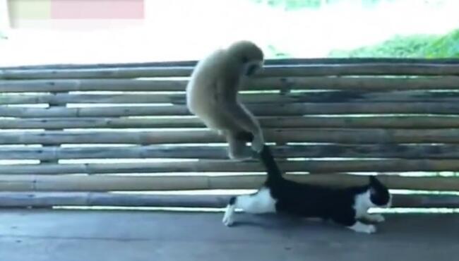 我好奇猫为什么不用爪子挠它?猫以为猴子是主人的表弟 猴子,喵星人,猫咪