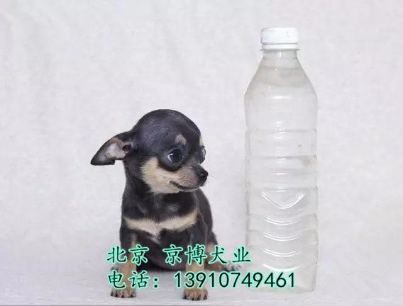 吉娃娃犬 茶杯体吉娃娃价格 纯种吉娃娃幼犬出售 df7ec40961da48a5dd (7).jpg