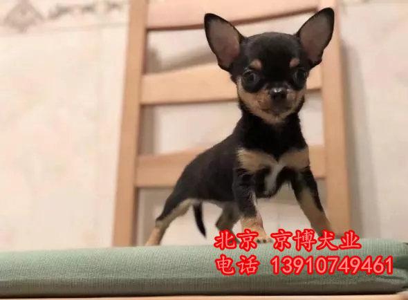 吉娃娃犬 茶杯体吉娃娃价格 纯种吉娃娃幼犬出售 f0eea76124d4c9a05d5cb59c281dbb3c.webp.jpg