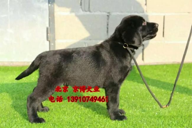 北京纯种拉布拉多价格 三个月拉布拉多犬出售 d3514f9 (238).jpg