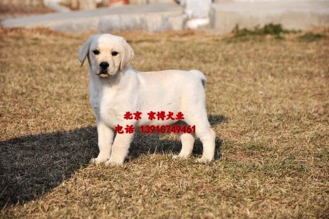 北京纯种拉布拉多价格 三个月拉布拉多犬出售 d3514f9 (240).jpg