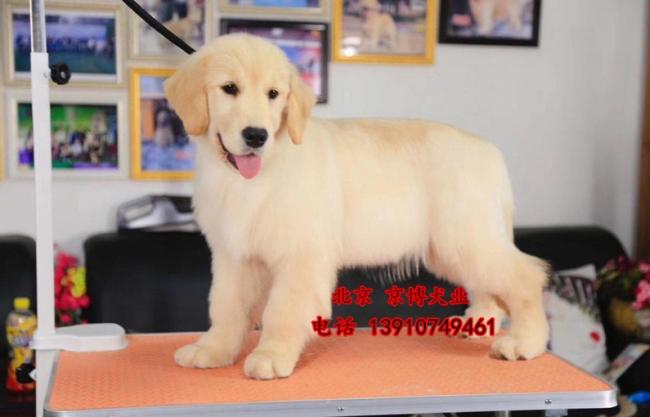 宠物级赛级金毛幼犬 美系金毛寻回犬出售 1074d8c0bc688c626a2e50bce (146).jpg