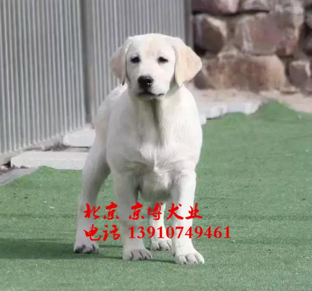 三个月纯种拉布拉多犬 赛级拉布拉多犬出售 d3514f9 (21).jpg