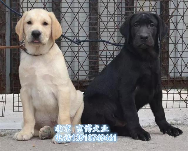 三个月纯种拉布拉多犬 赛级拉布拉多犬出售 d3514f9 (20).jpg