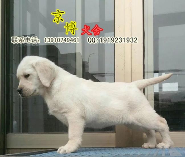 宠物级拉布拉多 拉布拉多导盲犬出售 可签协议 d3514f9 (176).jpg