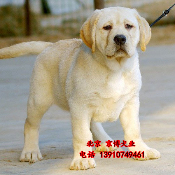 宠物级拉布拉多 拉布拉多导盲犬出售 可签协议 d3514f9 (177).jpg