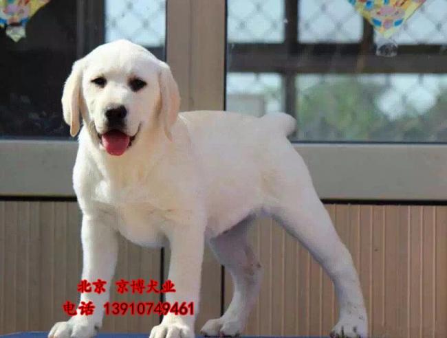 宠物级拉布拉多 拉布拉多导盲犬出售 可签协议 d3514f9 (180).jpg