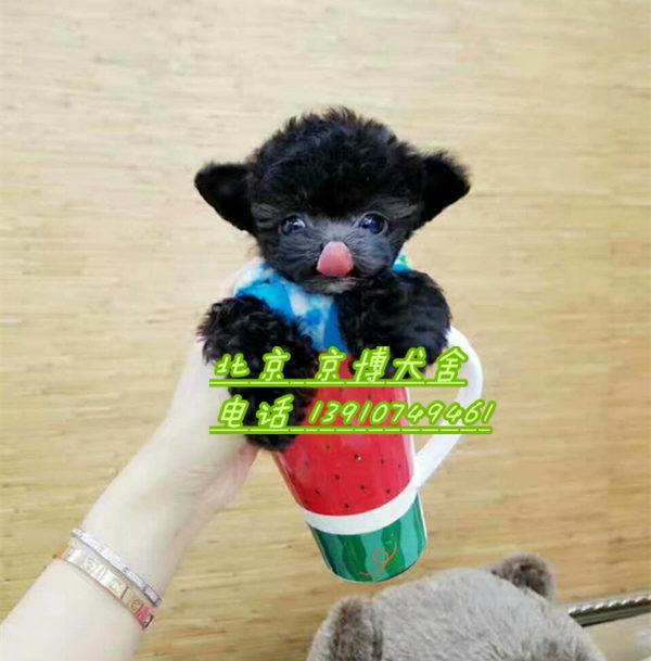 纯种韩系泰迪幼犬 茶杯体泰迪犬出售 166537aeef73065 (3).jpg