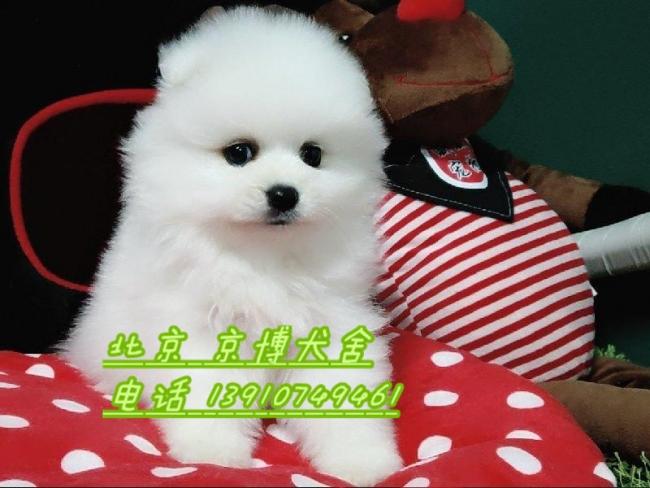 宠物级博美犬 哈多利球体博美出售 纯种球型博美犬 1_183233_66ad7abe1e (2).jpg