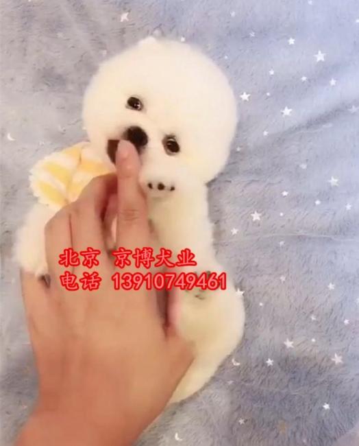 宠物级博美犬 哈多利球体博美出售 纯种球型博美犬 1_183233_66ad7abe1e (6).jpg