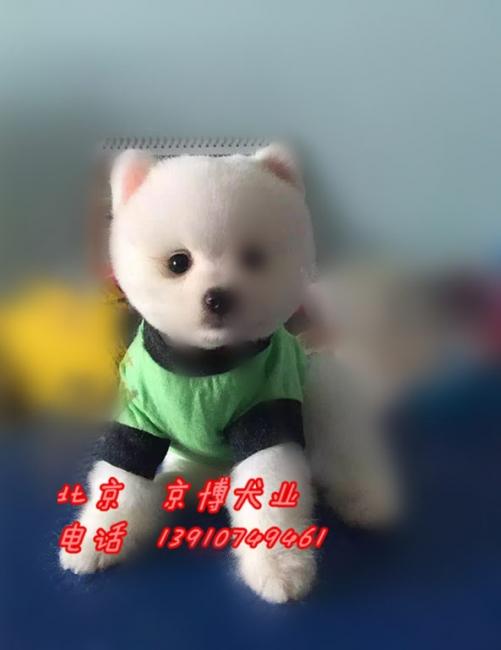 宠物级博美犬 哈多利球体博美出售 纯种球型博美犬 1_183233_66ad7abe1e (8).jpg