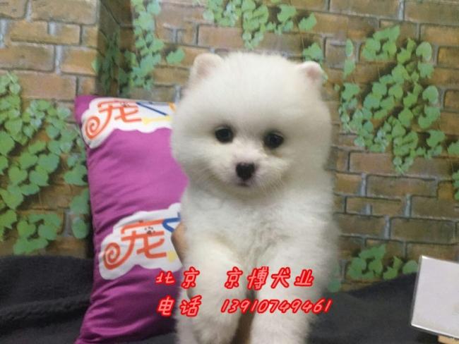 宠物级博美犬 哈多利球体博美出售 纯种球型博美犬 1_183233_66ad7abe1e (7).jpg
