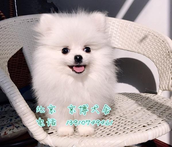 宠物级博美犬 哈多利球体博美出售 纯种球型博美犬 2_158470_c4c283cf89e82f0.jpg